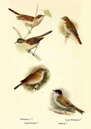 Whitethroat, Garden Warbler, Lesser Whitethroat & Blackcap